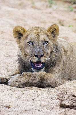 Lion Cub In Dry River Bed Art Print by Sean McSweeney