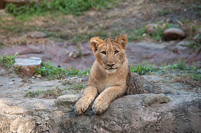 Photograph - Lion Cub by John Black