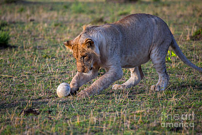 Ostrich Photograph - Lion Cub Playing With Ostrich Egg by Greg Dimijian