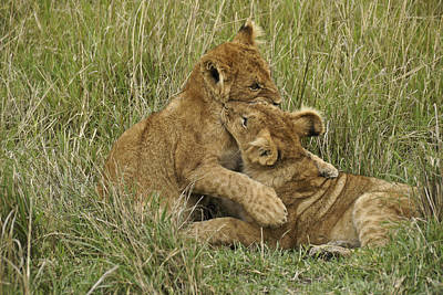 Photograph - Lion Cub Playtime by Michele Burgess