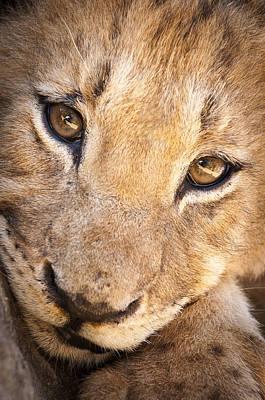 Bigcat Photograph - Lion Cub Portrait No. 1 by Andy-Kim Moeller