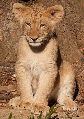 Traci Law Photograph - Lion Cub Portrait by Traci Law