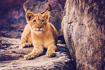 Photograph - Lion Cub by Sara Frank