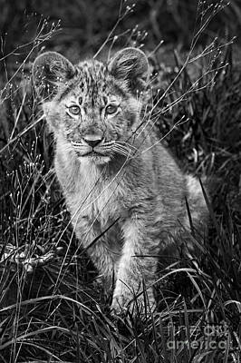 Photograph - Lion Cub by Sonya Lang