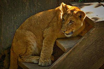 Photograph - Lion Cub by Stuart Litoff