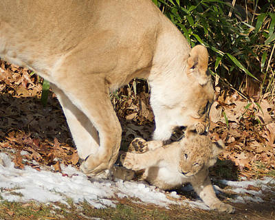 Lion Cub With Mom Art Print
