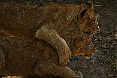 Photograph - Lion Cubs by Stuart Litoff