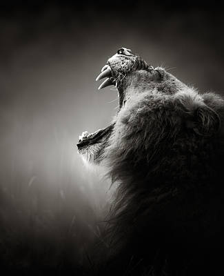Lion Displaying Dangerous Teeth Art Print