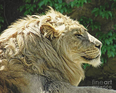 Photograph - Lion by Emily Kelley