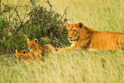 Lion Family Print by Kongsak Sumano