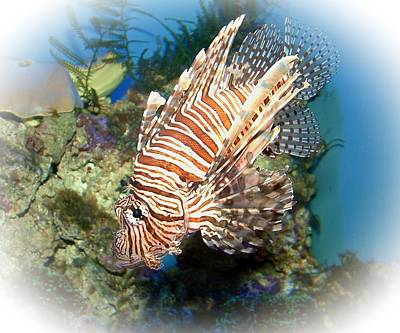 Preditor Photograph - Lion Fish 2 by TN Fairey