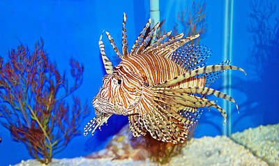 Photograph - Lion Fish by Aimee L Maher ALM GALLERY