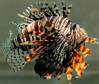Photograph - Lion Fish by Diana Angstadt