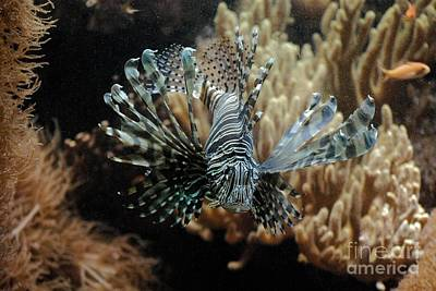 Photograph - Lion Fish by Mark McReynolds