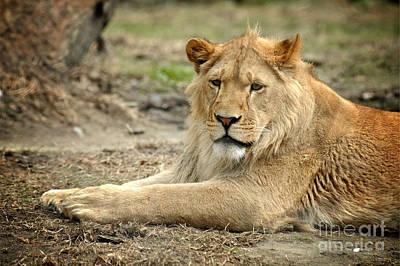 Lion Art Print by HD Connelly