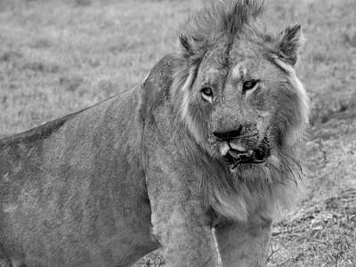 Photograph - Lion In The Serengeti by Paula Guy