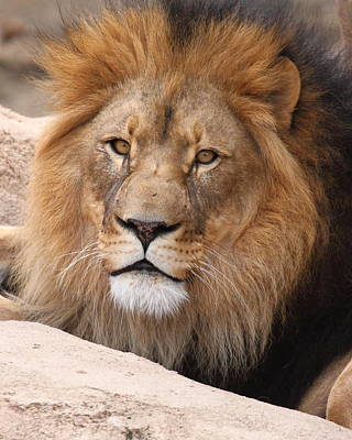 Photograph - Lion In Wait by Coby Cooper