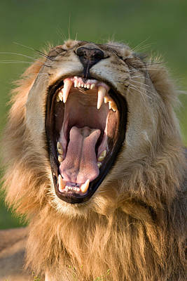 Bass Photograph - Lion by Johan Swanepoel