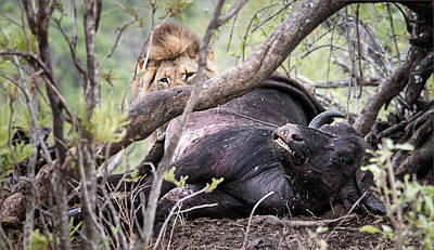 Olympic Sports - Lion Kill Buffalo in Kruger National Park by Ronel Broderick