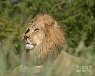 Photograph - Lion King by Carol  Bradley