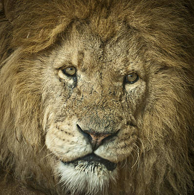 Photograph - Lion King by Chris Boulton