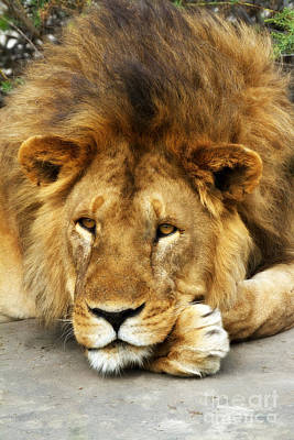 Photograph - Lion King Emeritus by Chris Scroggins