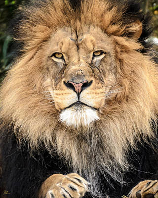 Photograph - Lion King by Pat Scanlon