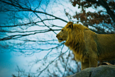 Photograph - Lion King by Sara Frank