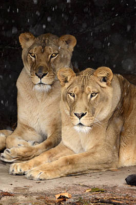 Photograph - Lion Ladies by Ann Bridges
