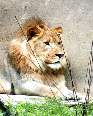 Photograph - Lion by Lizi Beard-Ward