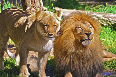 Photograph - Lion Mates by SC Heffner