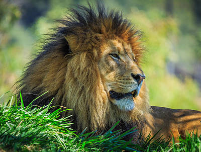 Photograph - Lion by Matthew Onheiber