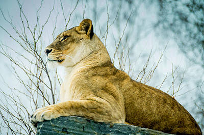 Lion Print by Mirra Photography