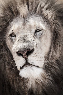 Bigcat Photograph - Lion No. 1 by Andy-Kim Moeller