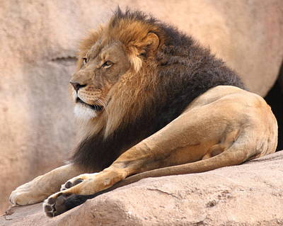 Photograph - Lion On A Rock by Coby Cooper