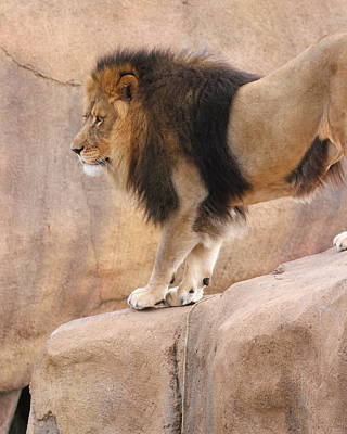 Photograph - Lion On The Rocks by Coby Cooper