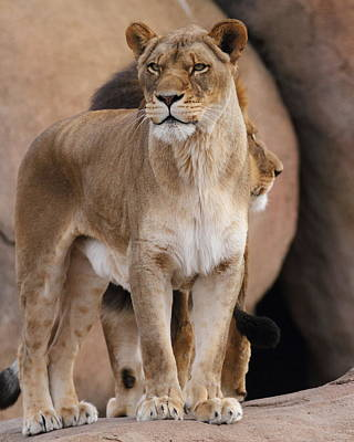 Photograph - Lion Pair by Coby Cooper