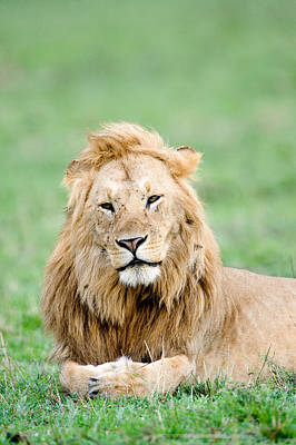 Leo Photograph - Lion Panthera Leo Lying In Grass, Masai by Panoramic Images