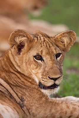 Uganda Wall Art - Photograph - Lion (panthera Leo by Martin Zwick
