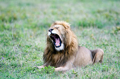 Lion Panthera Leo Yawning In A Field Art Print by Panoramic Images