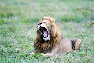 Lion Panthera Leo Yawning In A Field Art Print