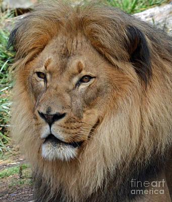 Photograph - Lion Portrait  by Jim Fitzpatrick