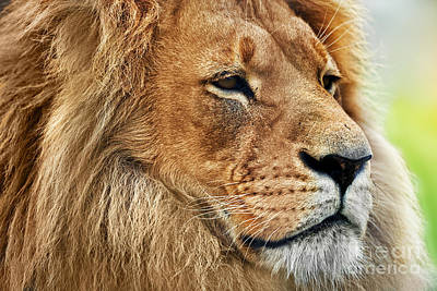 Photograph - Lion Portrait With Rich Mane On Savanna by Michal Bednarek