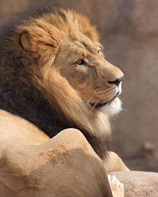 Photograph - Lion Profile by Coby Cooper