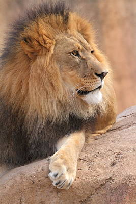 Photograph - Lion Relaxed by Coby Cooper