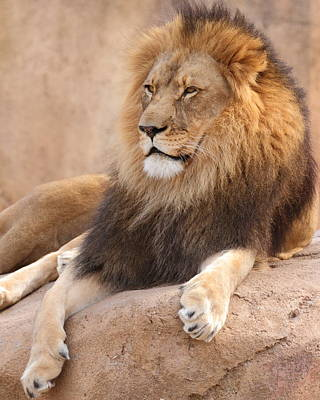 Photograph - Lion Resting by Coby Cooper