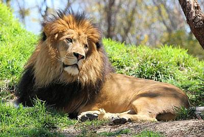 Photograph - Lion Resting by Jane Girardot