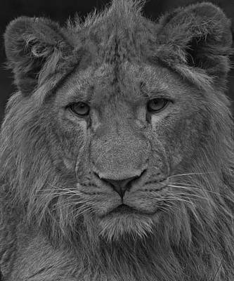 Headstudy Photograph - Lion Rework by Paul Scoullar