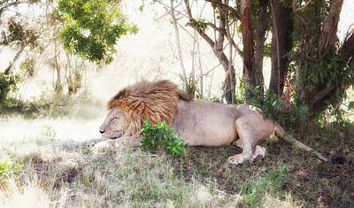 Photograph - Lion Snoozing In The Afternoon by June Jacobsen