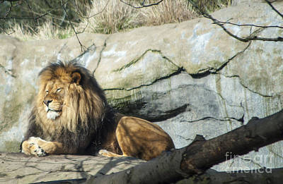 Cub Photograph - Lion Sunbathing by Mandy Judson